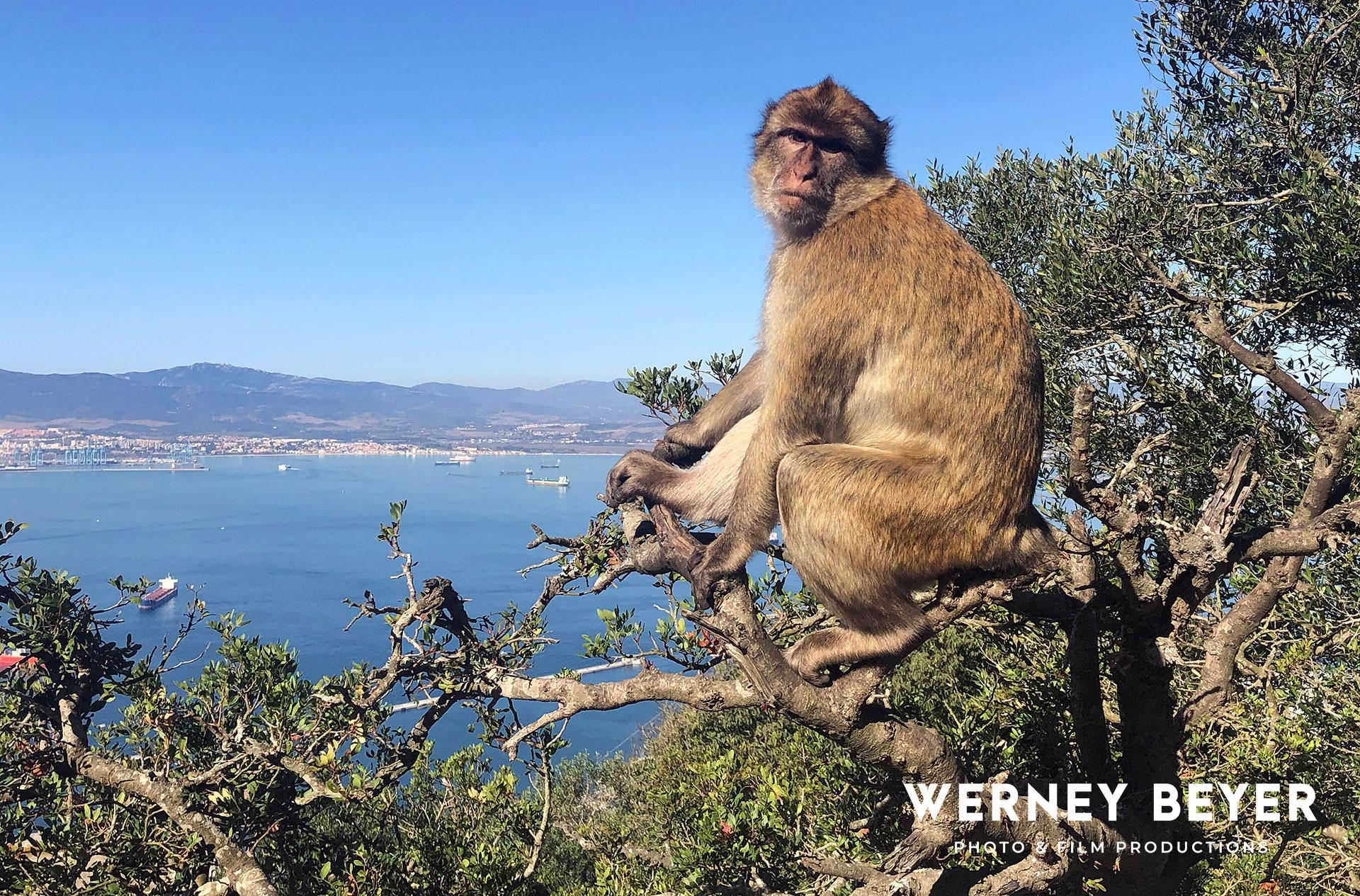 Barbary Macaque Monkey, Gibraltar