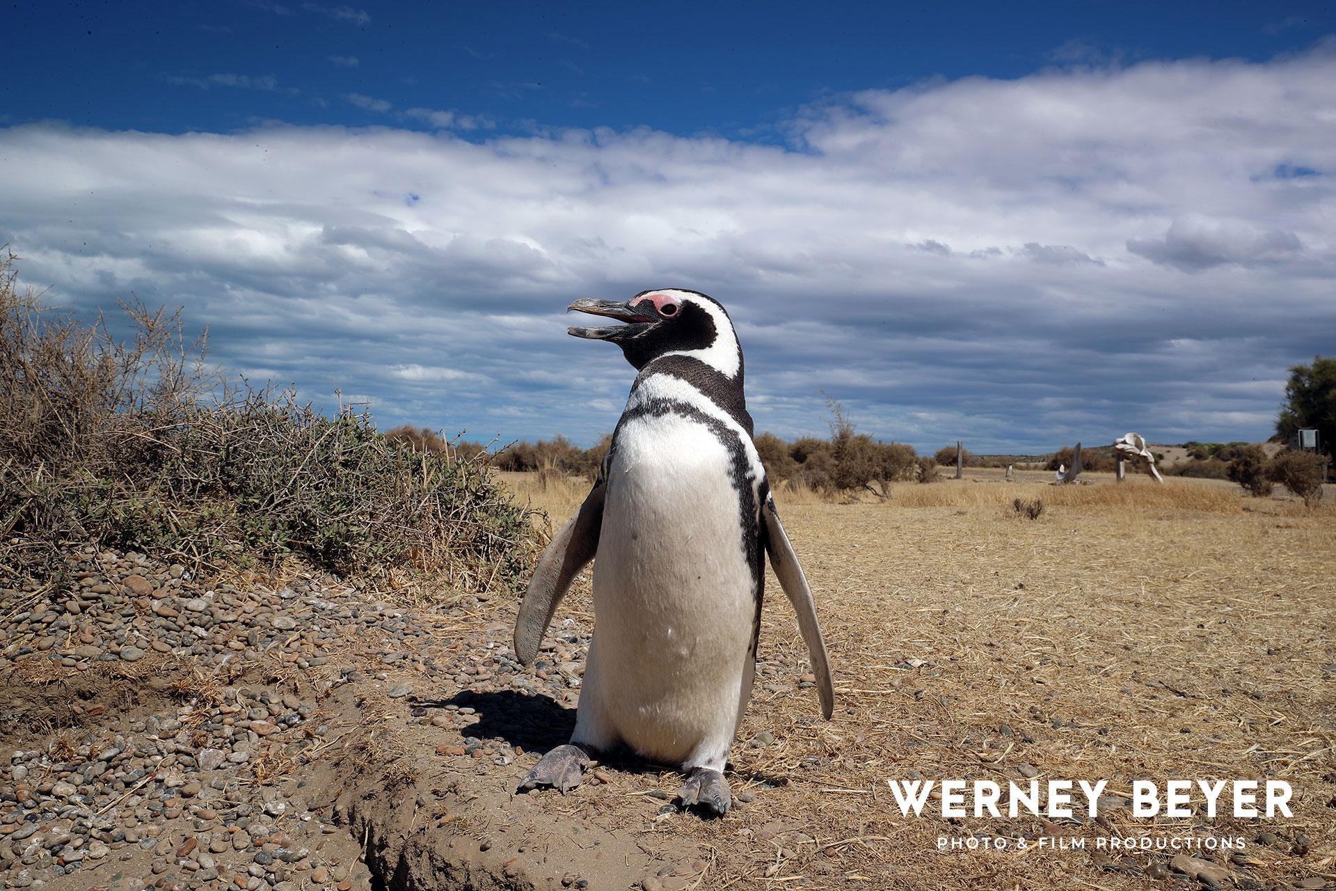 Magellanic Penguin, Peninsula Valdés, Argentina