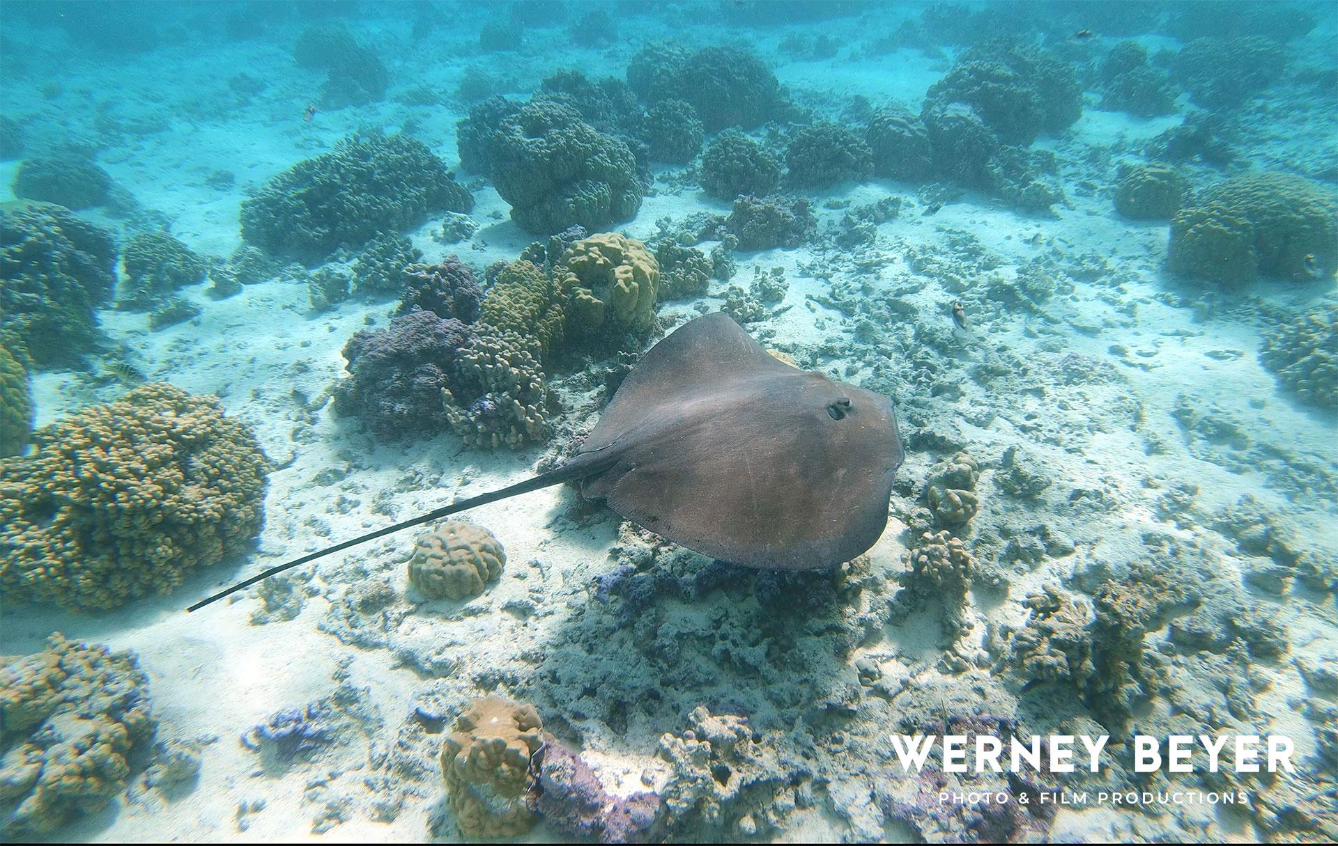 Stingray, Bora Bora, French Polynesia